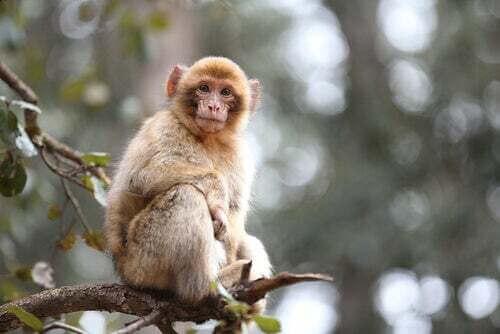 Macaco di Gibilterra