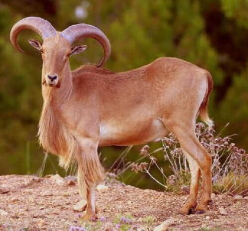 Il muflone africano è una specie invasiva in Europa?