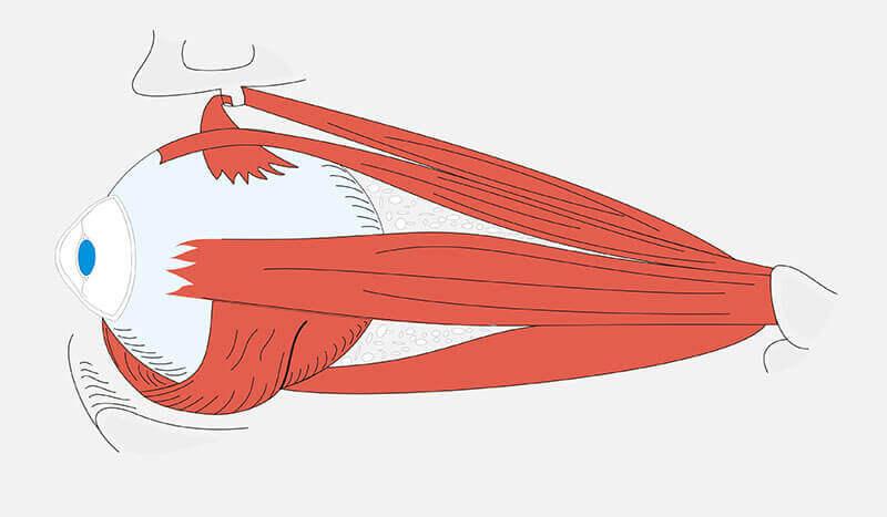 i muscoli del bulbo oculare consentono agli occhi di muoversi in maniera coordinata