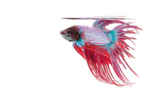 Pesce da acquario