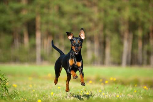 Pinscher nano: origine e storia di un cane di carattere