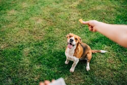 obesità canina: per combatterla, in molti snack è presente della curcuma