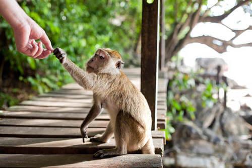 Le scimmie rubano per colpa dell'uomo
