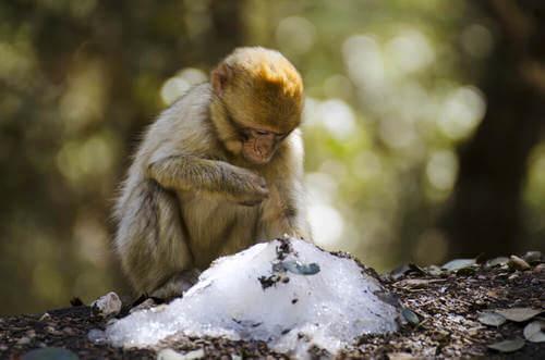 Le scimmie con più amici affrontano meglio l'inverno