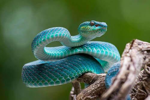 Serpente blu