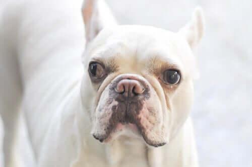 sono molteplici le cause che possono provocare lo strabismo nei cani