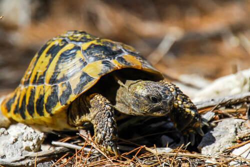 Tartaruga mediterranea: caratteristiche e habitat