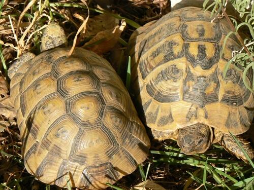 La tartaruga moresca: caratteristiche e habitat