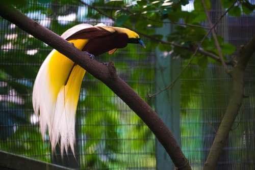L'uccello del paradiso su un ramo