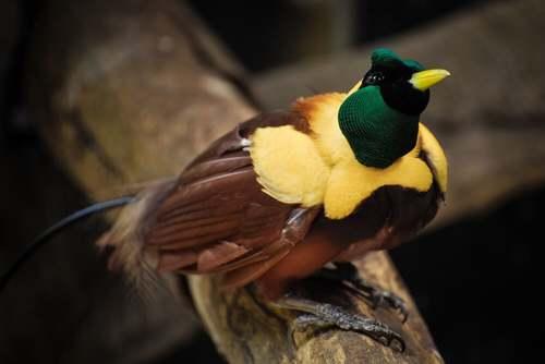 L'uccello del paradiso, l'acrobata dalle piume variopinte
