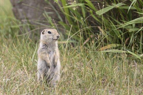 Lo scoiattolo Richardson: il tenero roditore delle praterie canadesi