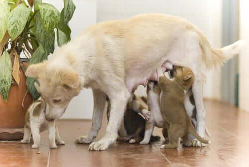 Allattamento dei cuccioli di cane