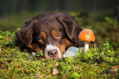 Cosa fare in caso di avvelenamento da funghi nei cani