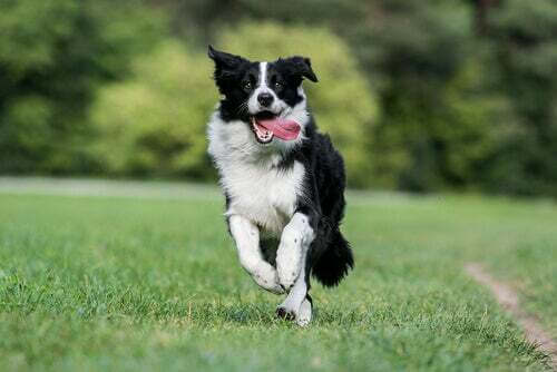 Border collie che corre