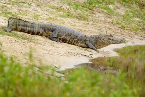 Il caimano jacarè, l'alligatore del Sud America lungo anche 3 metri