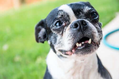 A un cane adulto cadono i denti, perché?