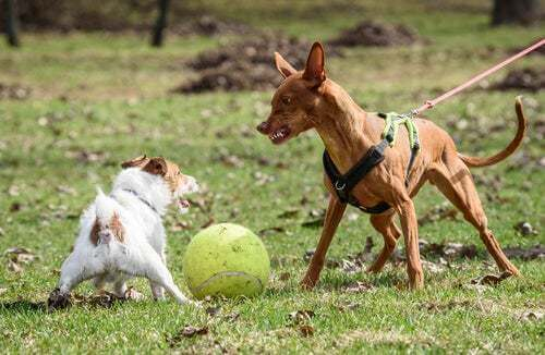 Cane arrabbiato che ringhia a un altro cane
