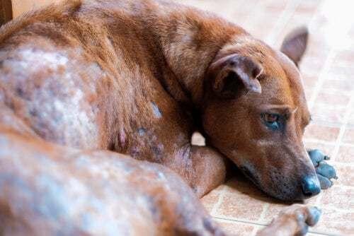 Cane con la scabbia
