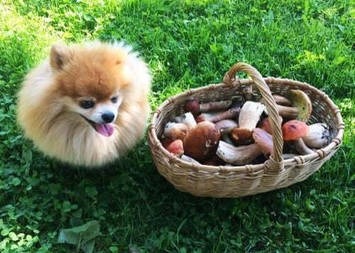 Cucciolo con un cesto di funghi
