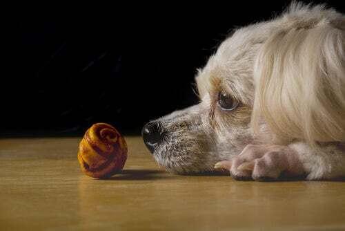 Cane che osserva un giocattolo