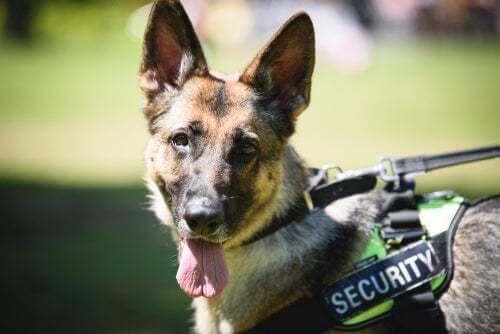La vita dei cani poliziotto dall'addestramento al pensionamento