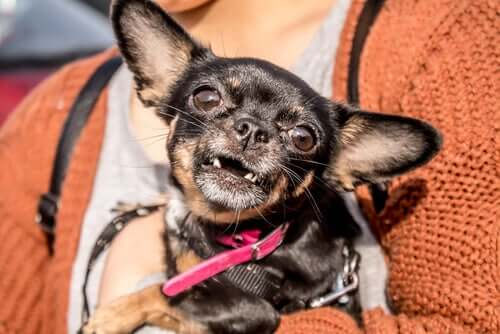 Cane senza denti