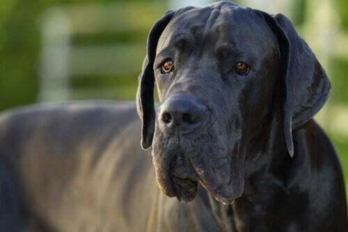 Perché i cani di grossa taglia vivono di meno?