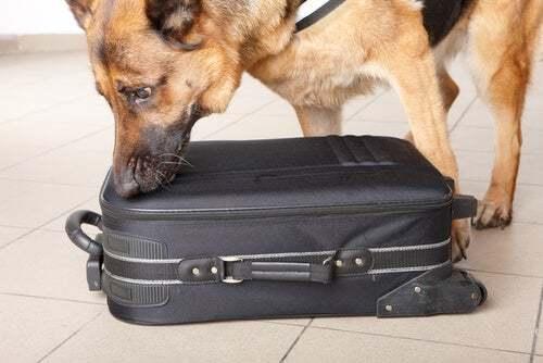 Cane che annusa una valigia