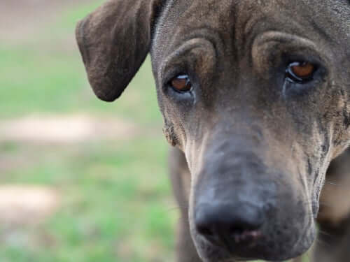 I cani piangono come gli umani? Scopriamolo