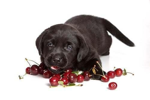 Le ciliegie sono tra gli alimenti tossici per i cani