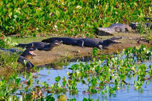 esemplari di caimano jacarè su una riva