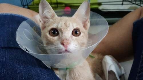 Collare elisabettiano per gatto