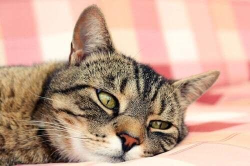 Colpo di calore nei gatti: gatto dall'aria sofferente