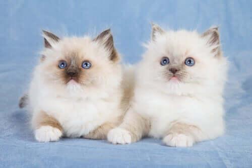 Coppia di gatti ragdoll