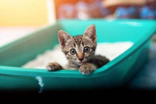Dissenteria nei gatti: cause e sintomi