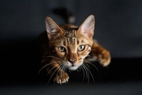 Perché i gatti hanno i baffi sulle zampe anteriori?