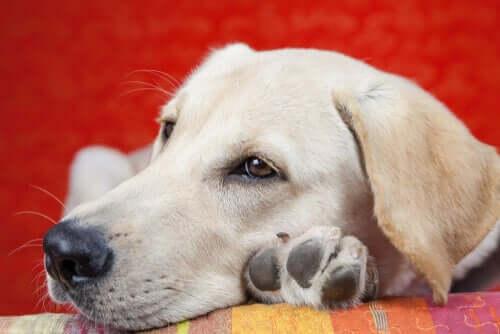 Letargo nei cani: quali sono le cause?
