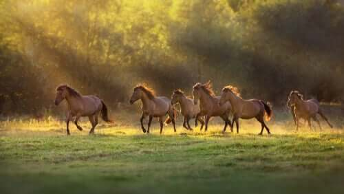Cavalli liberi che corrono