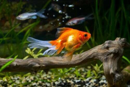 Il pesce rosso ha bisogno di acqua pulita per sopravvivere?