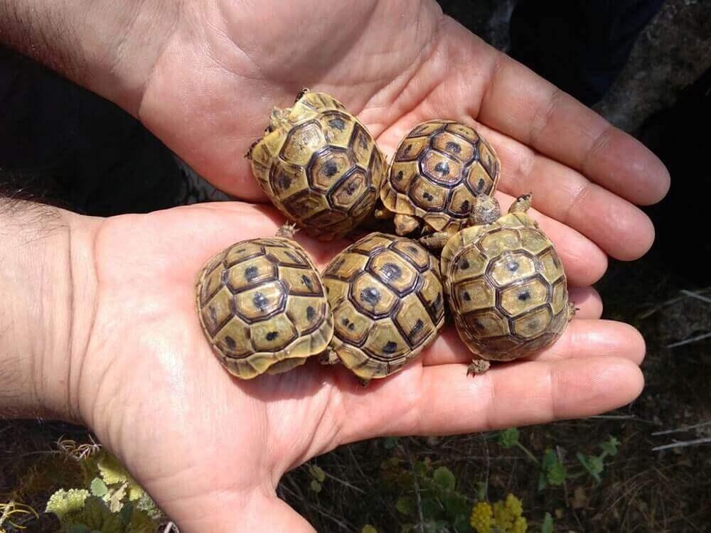 La tartaruga moresca è una delle tartarughe della Spagna diffuse in numerose regioni della penisola iberica.