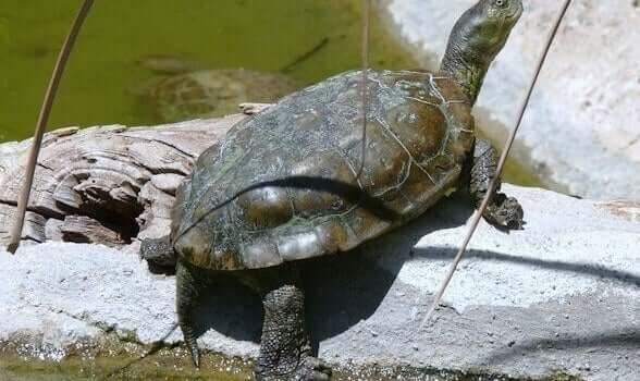 La tartaruga palustre mediterranea è una delle tartarughe della Spagna più diffuse.