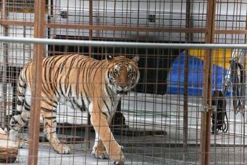Malattie comuni nei felini selvatici in cattività