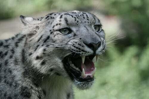 Fauci del leopardo delle nevi