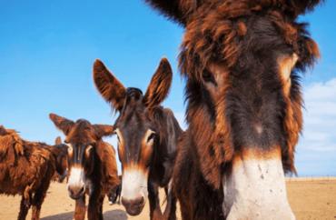 Asini e cavalli della Sardegna: 5 razze uniche e bellissime