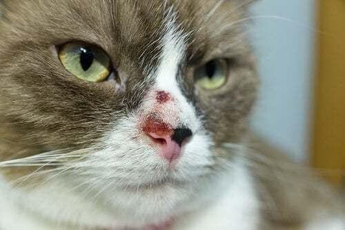 Cancro della pelle nei gatti: cause e trattamento