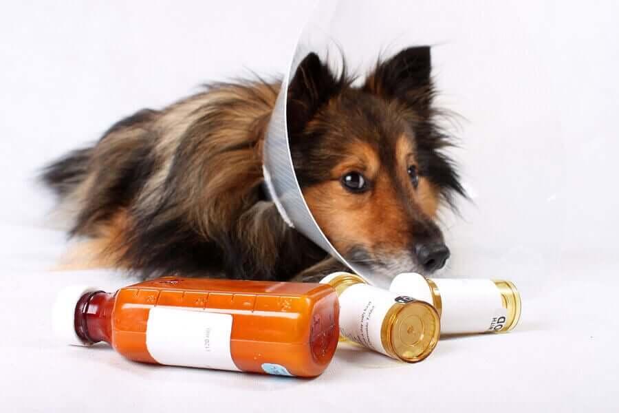 Cane con collare elisabettiano e farmaci
