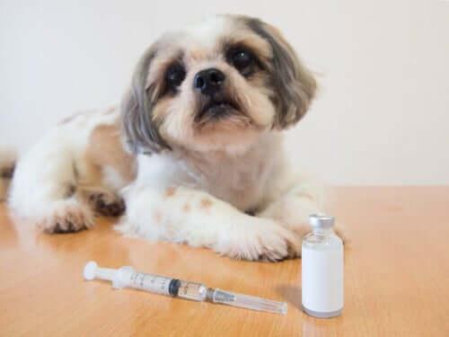 Cane che soffre di diabete con insulina