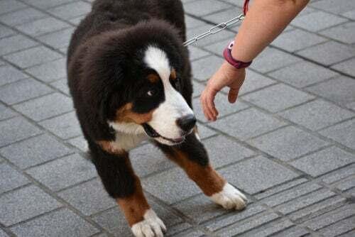 Cane che si rifiuta di seguire il ladro. Furto animale domestico