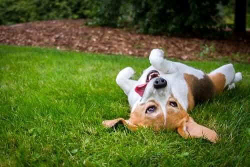 Perché i cani si rotolano nell'erba?