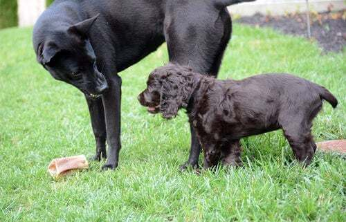Il cane ringhia a un altro per il cibo
